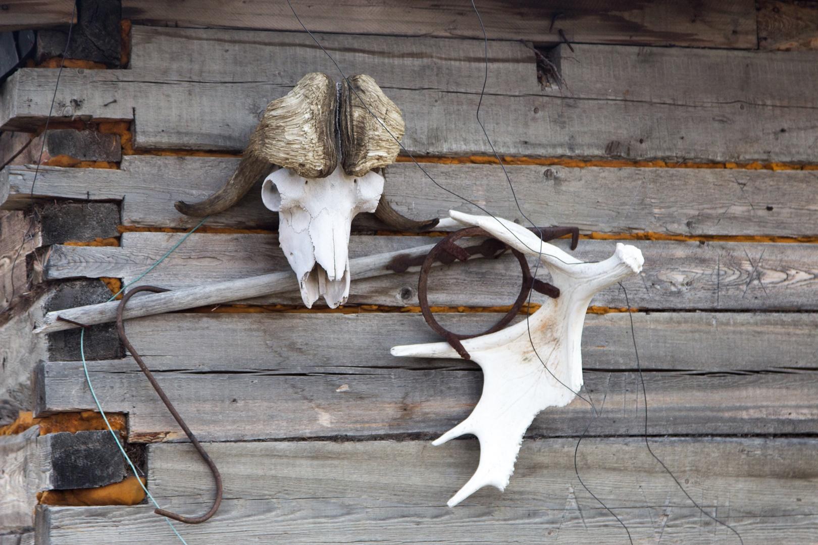 череп овцебыка