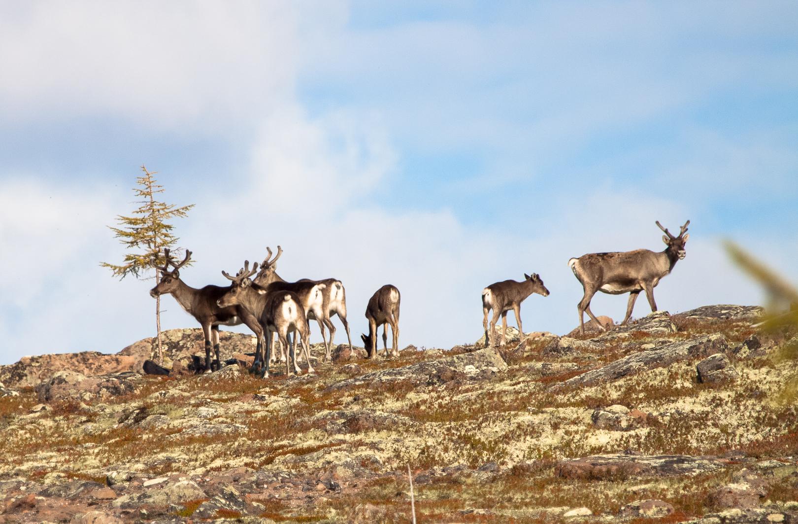 северные олени