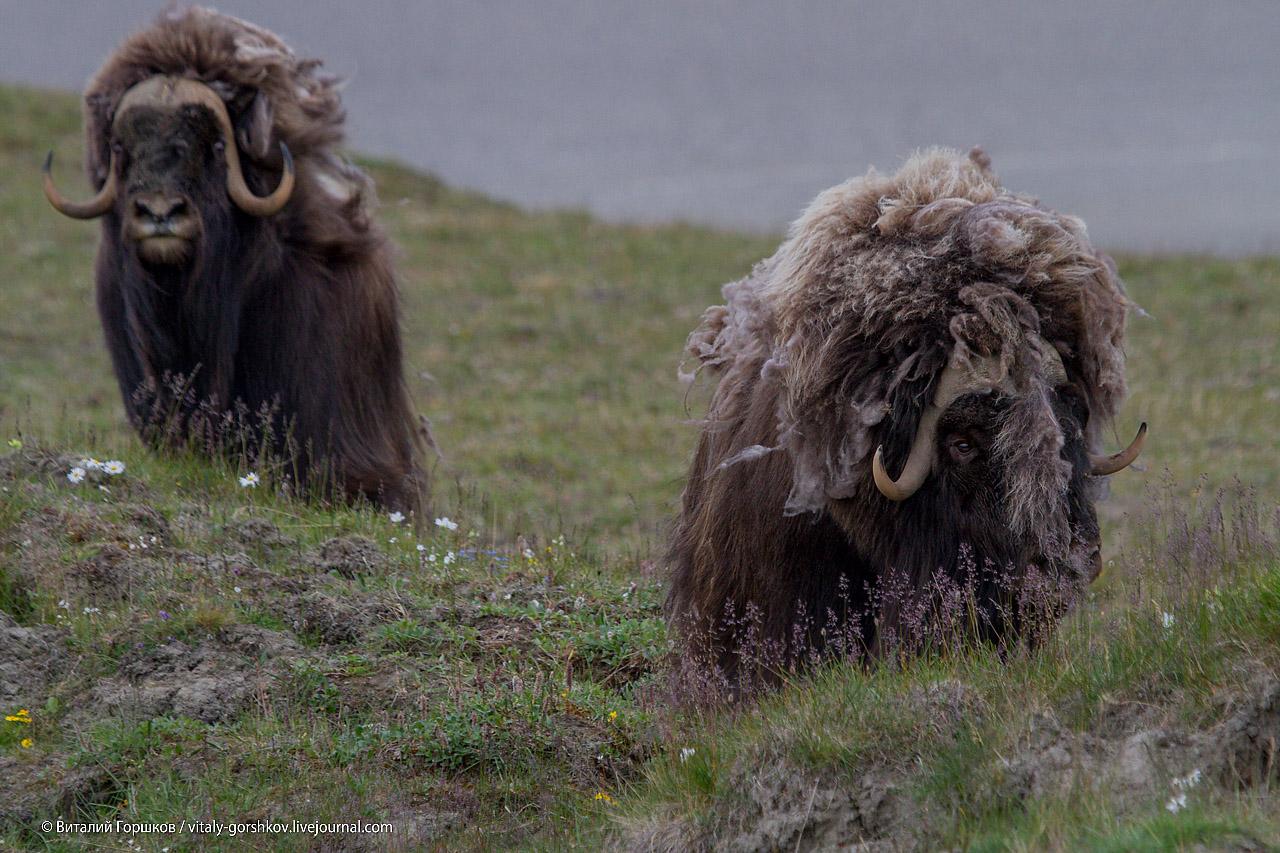 Овцебыки