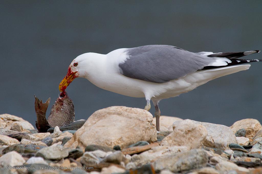 Чайки на реке Мамонта
