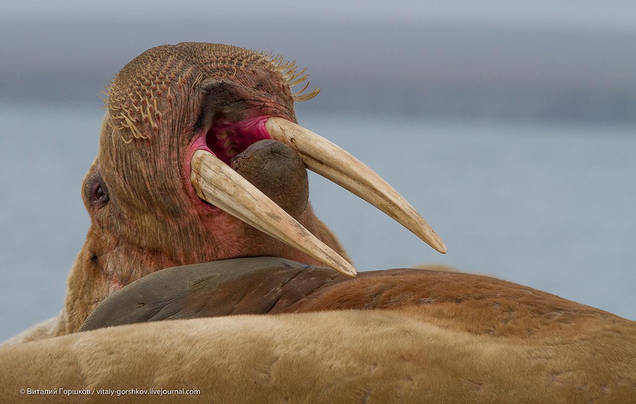 бивни моржа