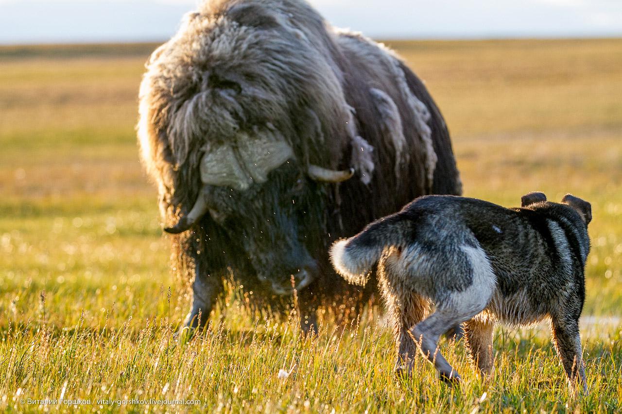 атака овцебыка