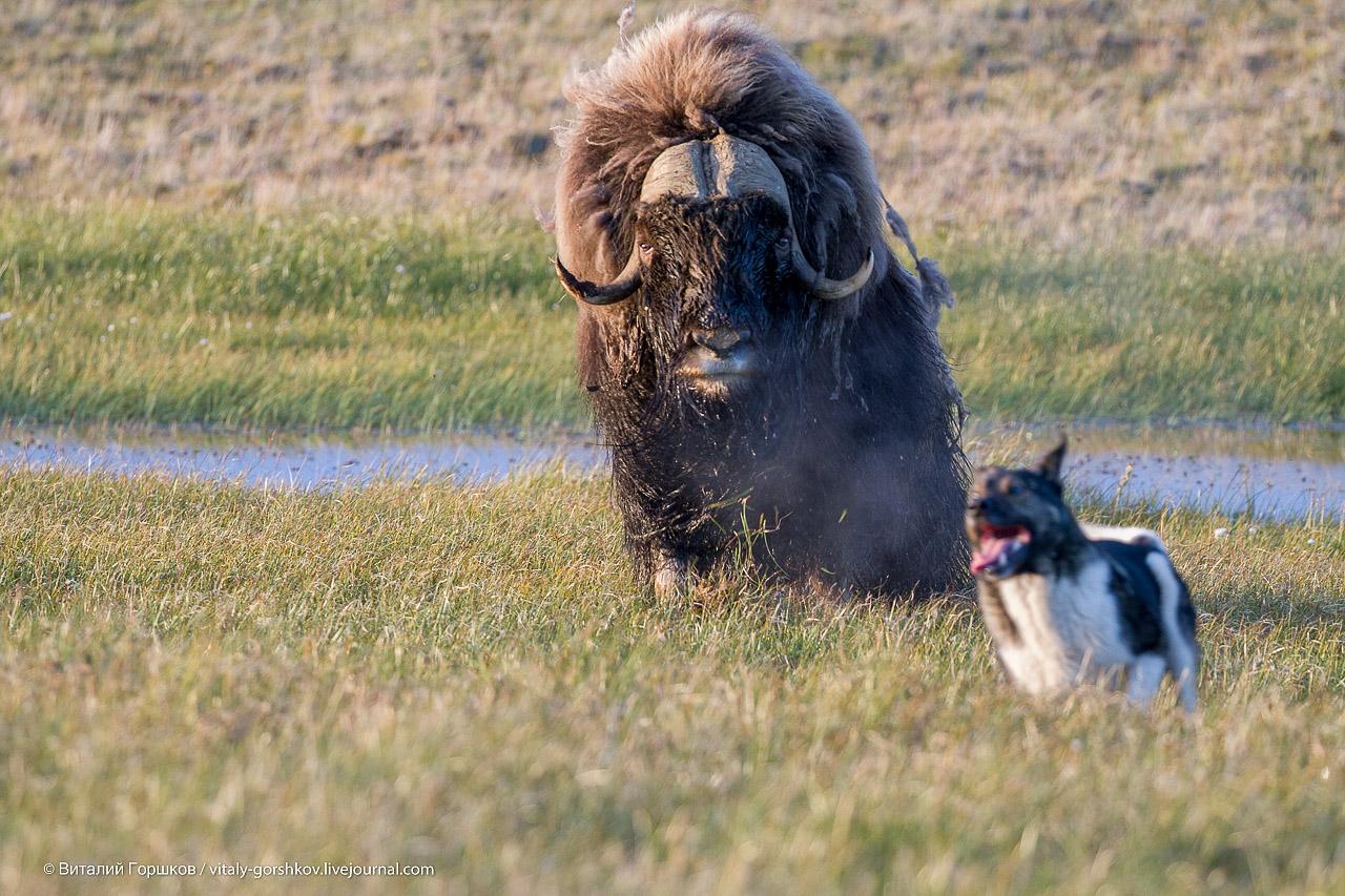 овцебык и собака
