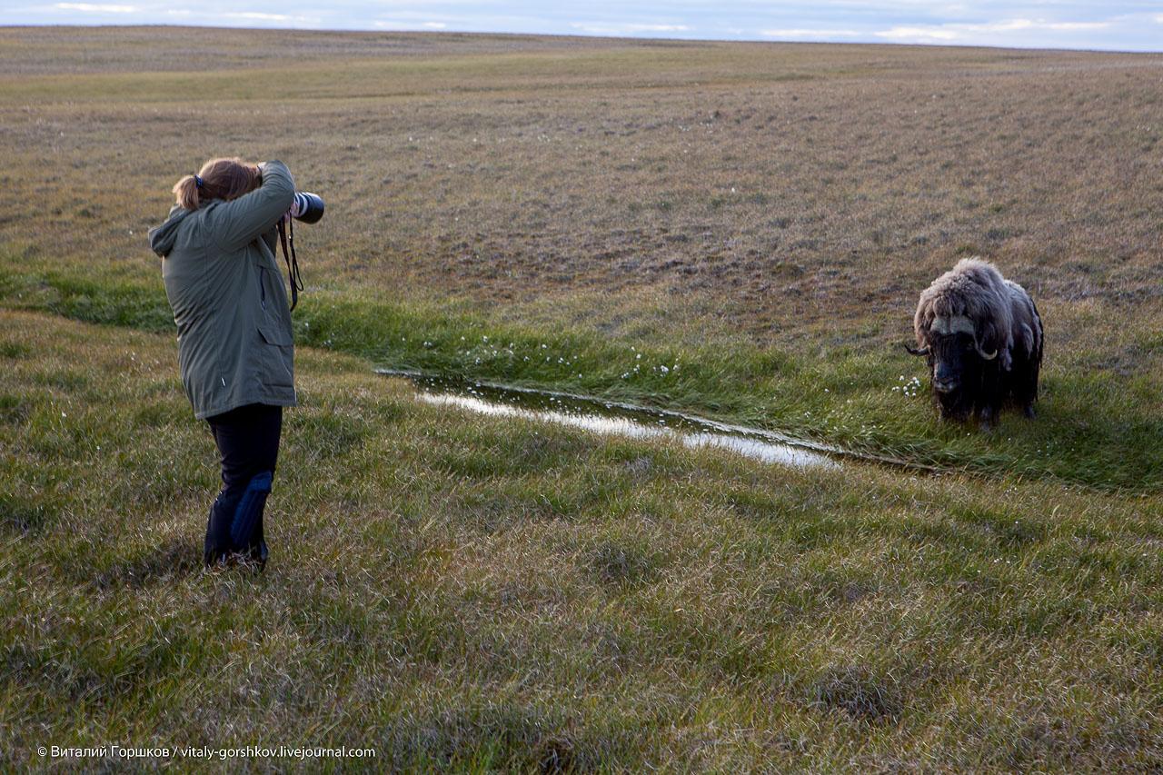 овцебык и фотографы