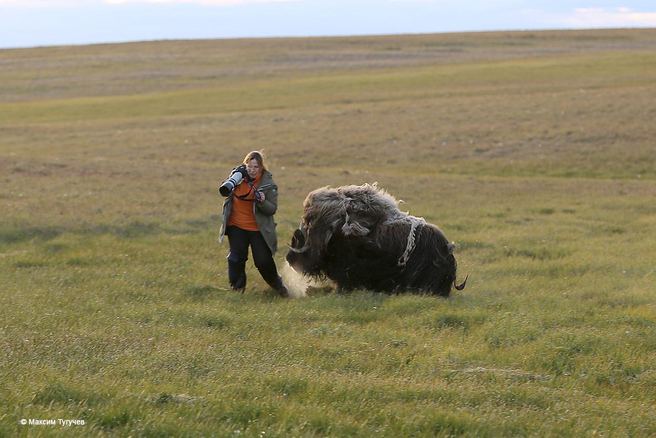 овцебык и фотограф