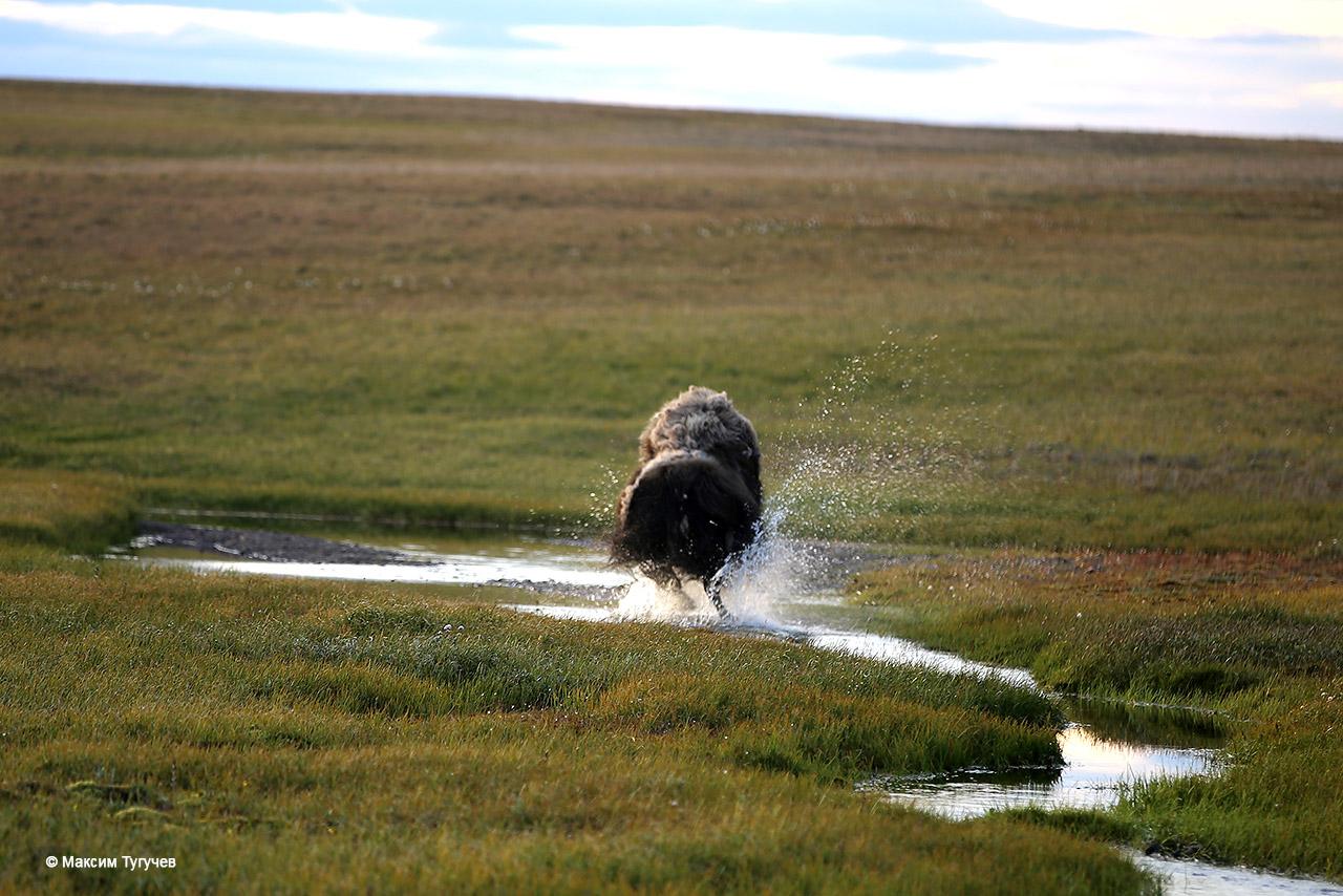 овцебык убегает