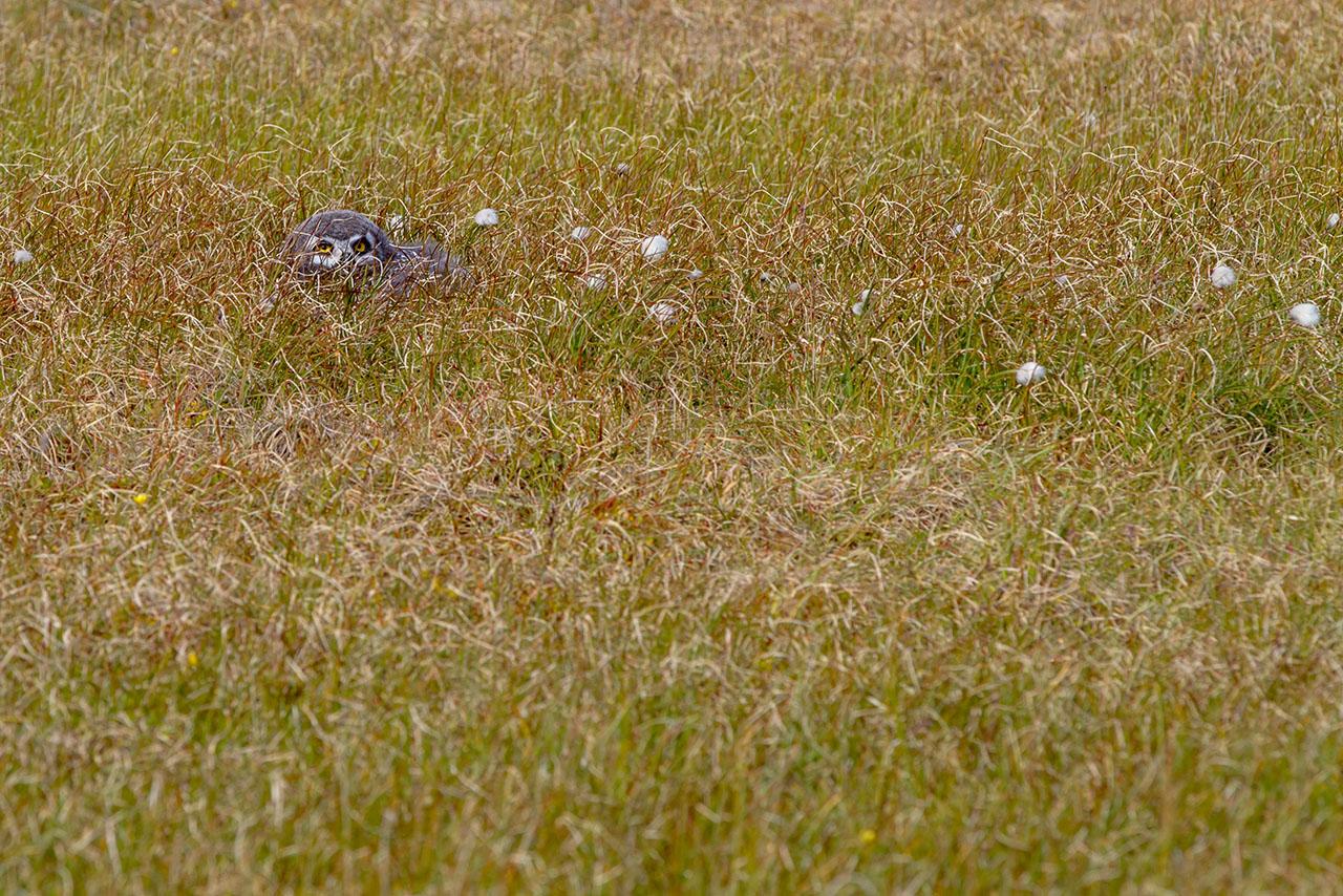 птенец полярной совы
