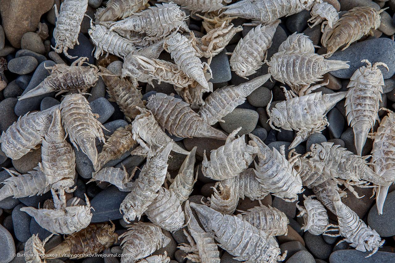 Морской таракан