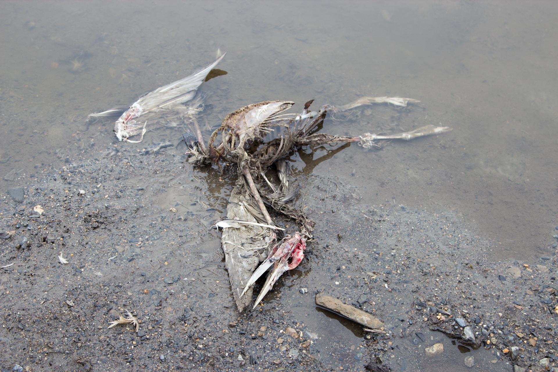 скелет гагары